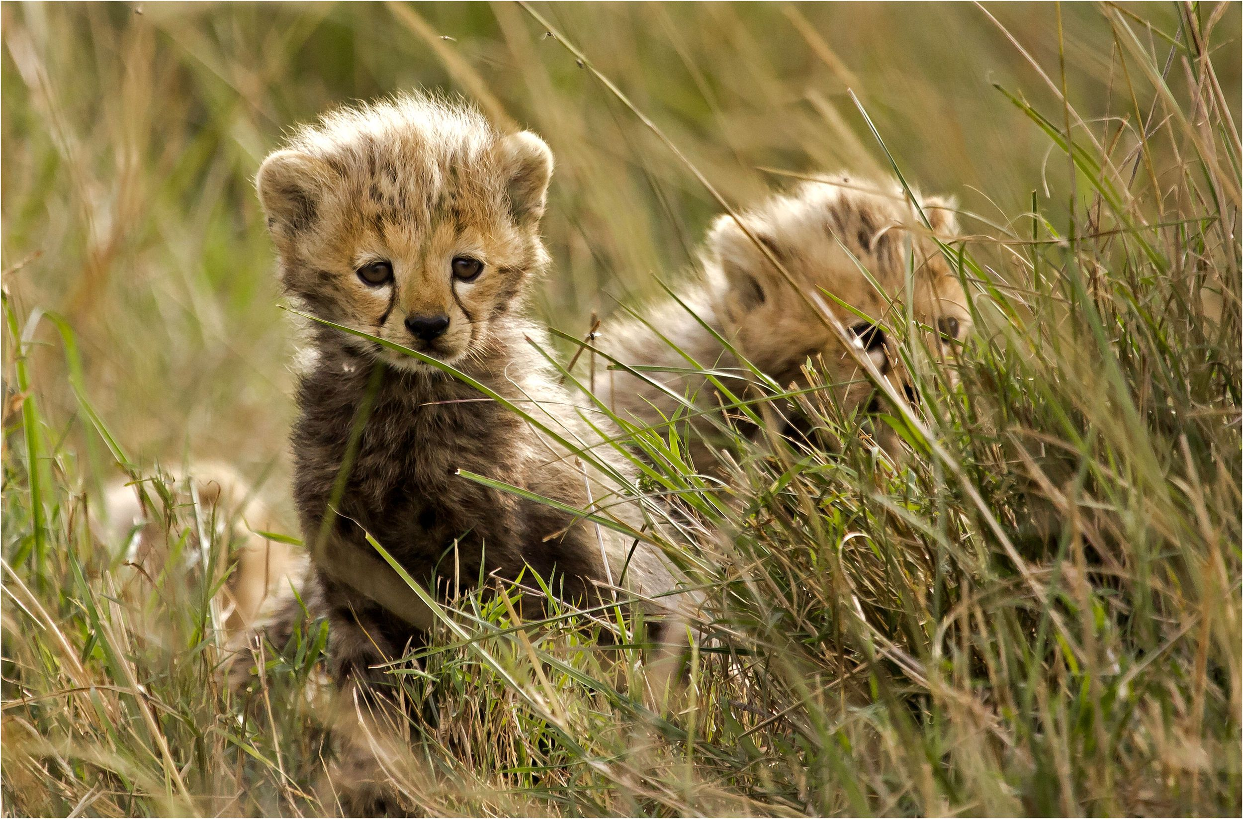Cheetah with cub wallpapers HD Tiger hd wallpapers