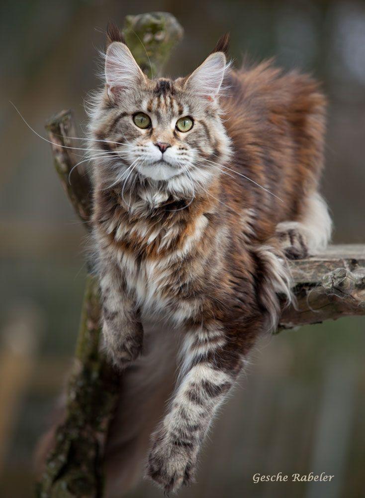 Pin On Maine Coon Cats And Kittens Meeeeooooow