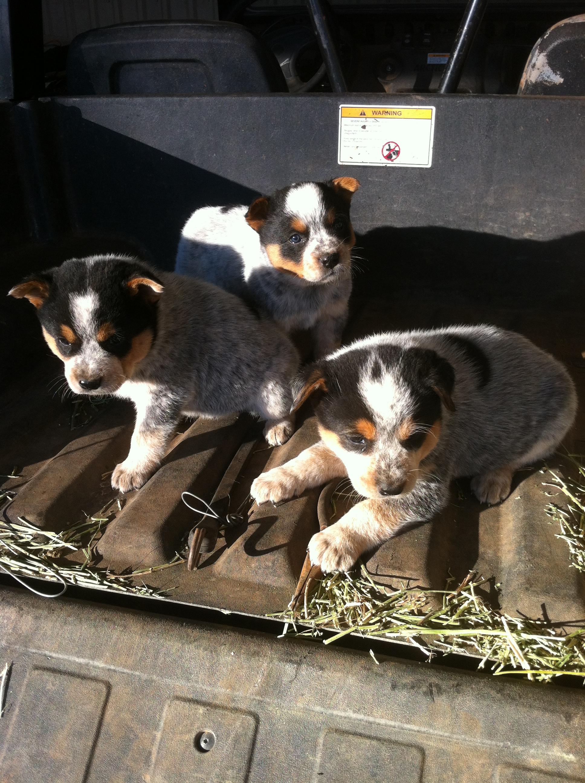 Blue Heeler Pups Animals for kids, Blue heeler, Pup