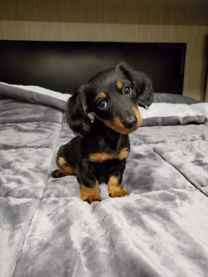 Pin By Emily N T On Cute Dachshunds In 2020 Puppies Dachshund