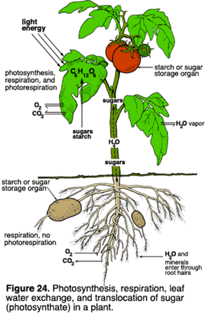 Translocation In Plants Diagram Google Search Agr 180