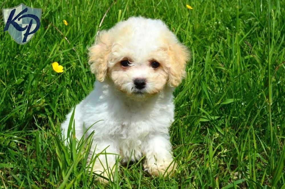 Puppy Finder Find Buy A Dog Today By Using Our Petfinder Cavachon Puppies Cavachon Cute Dogs And Puppies