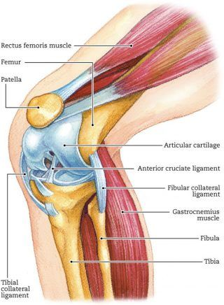 Diagram Of The Knee Muscles Search For Wiring Diagrams