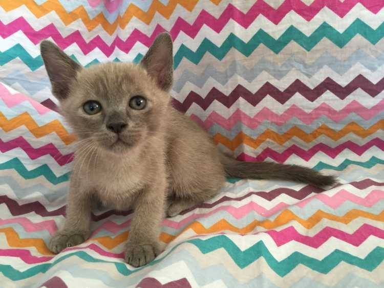 Super cute purebred BURMESE KITTENS FOR SALE 4 males and