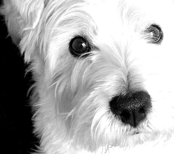 Black and white westie close up