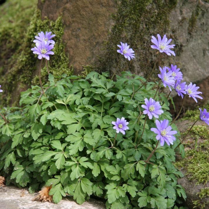 Balkan Windroschen Anmutige Fruhjahrsbluher Blumen Stauden Windroschen Pflanzen