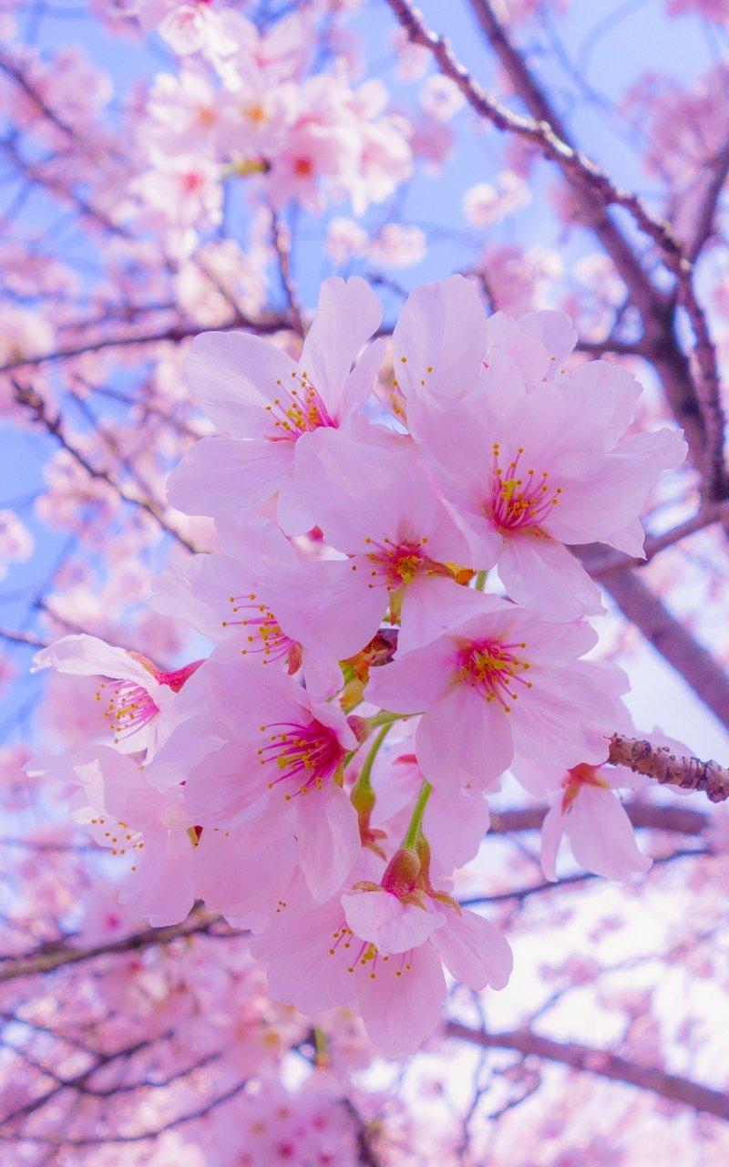 Victoria Velazquez On Twitter Cherry Blossom Wallpaper Nature Photography Flowers Flower Lockscreen