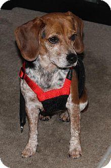 Red Tick Chocolate Beagle Beagle Buddies Beagle Cute Beagles