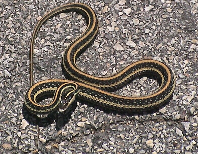 Garter Snake Common Name For A Group Of Harmless Snakes Among