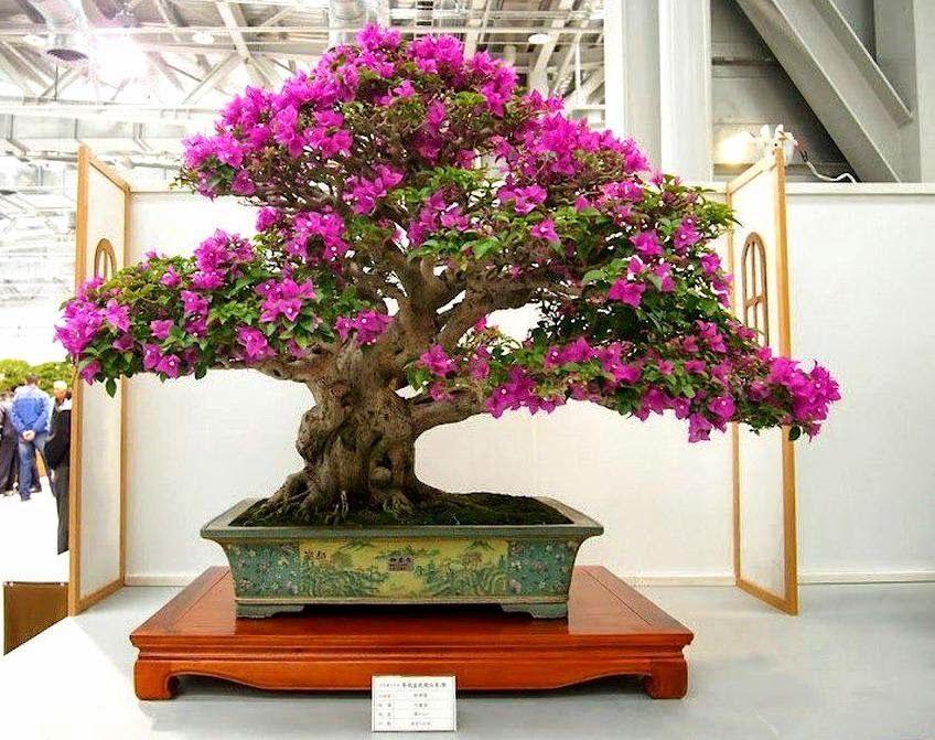 Como cultivar bougainville em vasos bonsai plants and for Como cultivar bonsais