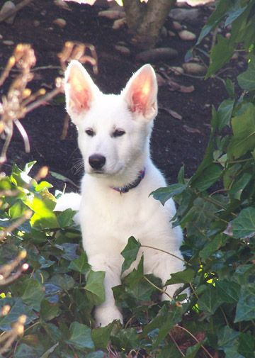 White German Sheppard Puppy Looks A Little Like Zappa White