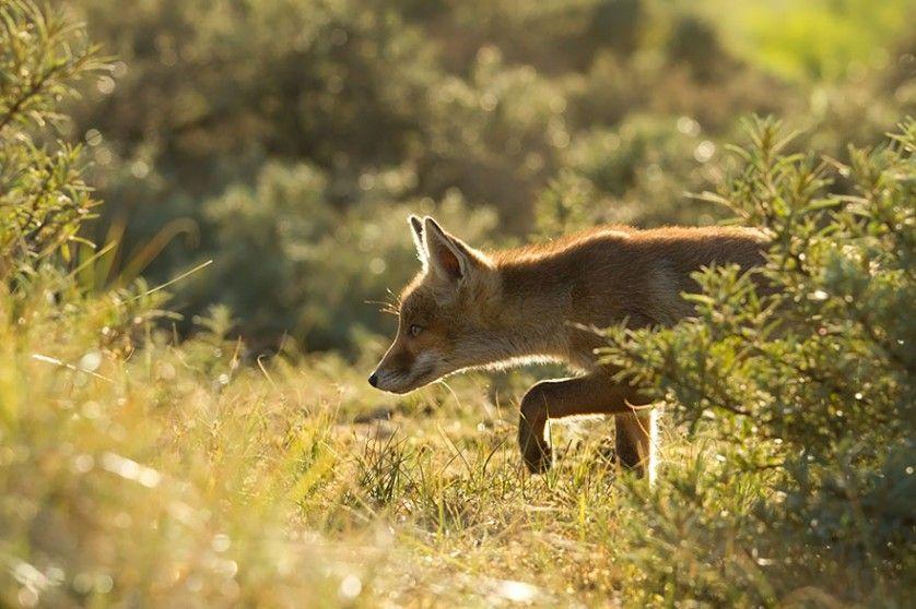 foxes-roeselien-raimond-25