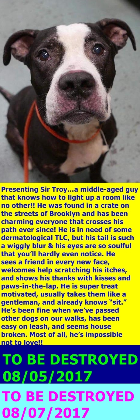 SAFE 08/09/17 --- Brooklyn Center  My name is SIR TROY. My Animal ID # is A1120364. I am a male gray and white pit bull mix. The shelter thinks I am about 7 YEARS old.  I came in the shelter as a STRAY on 07/30/2017 from NY 11213, owner surrender reason stated was STRAY. http://nycdogs.urgentpodr.org/sir-troy-a1120364/ https://petrescuereport.com/2017/sir-troy-abandoned-cage-streets-now-sentenced-death-nyc-shelter/