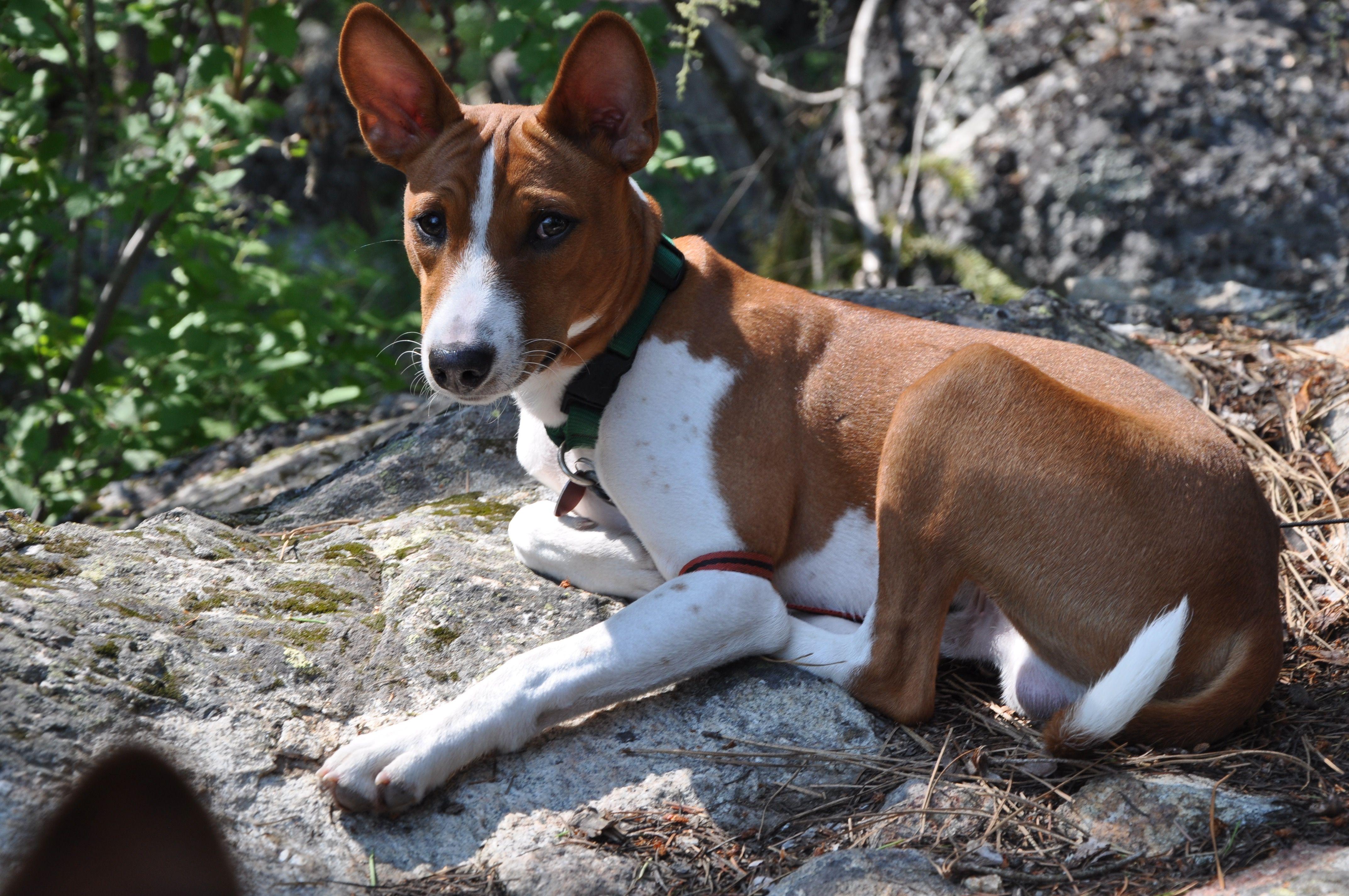 Paka Monkey Dog Breeds Basenji Dogs Dogs