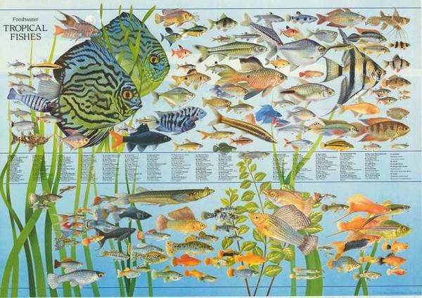 A Great Poster With A Colorful Array Of Tropical Freshwater Fish Species That Will Give You Hours Tropical Fish Tropical Freshwater Fish Tropical Fish Aquarium