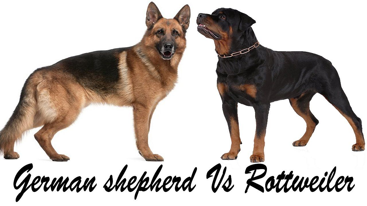 Rottweiler Vs German Shepherd Which Pet Is Right For Me With