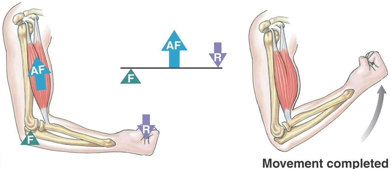 Image result for third class lever in the body | My pe board ...