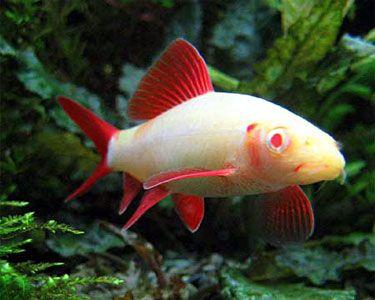 Albino Rainbow Shark Epalzeorhynchos Frenatus Aquarium Fish Tropical Fish Freshwater Aquarium Fish