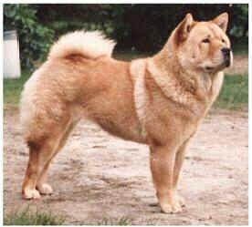 Smooth Coat Red Chow Chow Dogs