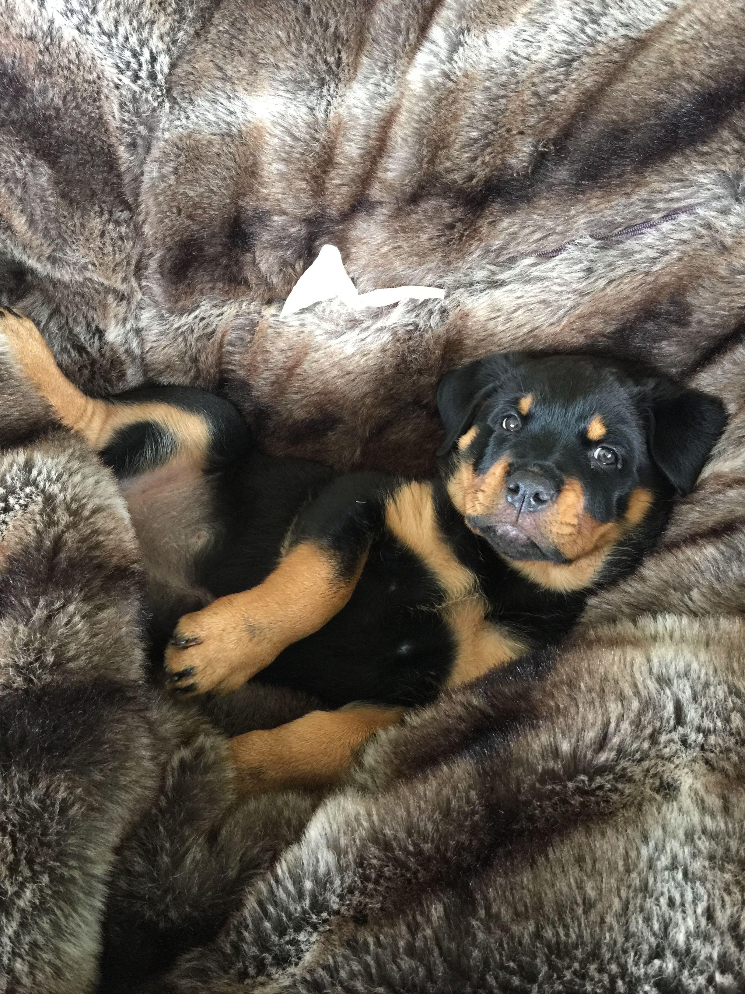8 Week Rottweiler Puppy Rottweiler Puppies Rottweiler Training Your Dog