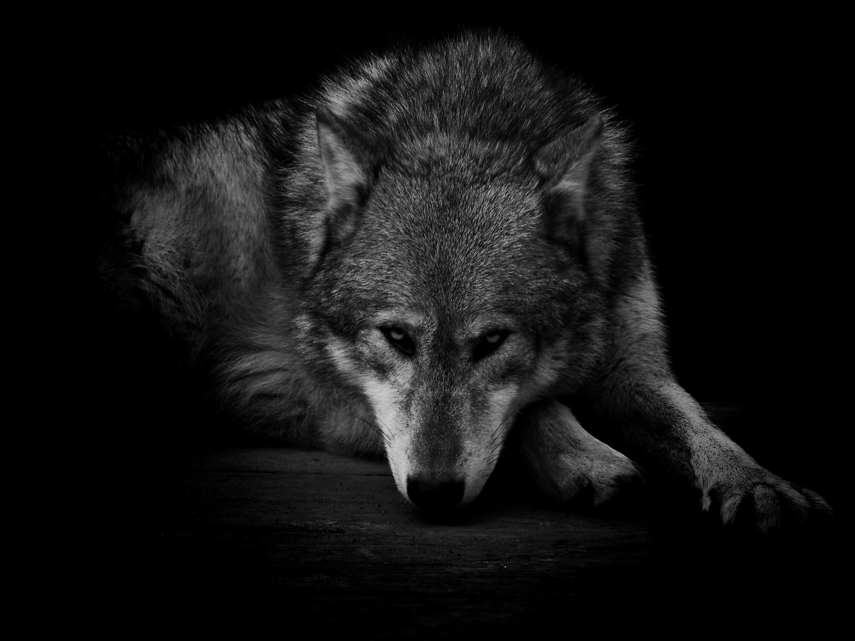 55 Shadow Wolf Wallpapers Download At Wallpaperbro