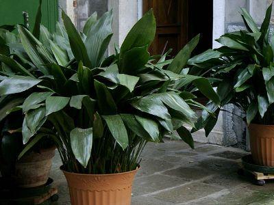 Kwiaty Doniczkowe Ktore Lubia Cien Aspidistra Wyniosla Cast Iron Plant Easy House Plants Iron Plant