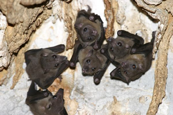 Bats in Cave (With images) | Cute bat, Bat facts, Cave animals