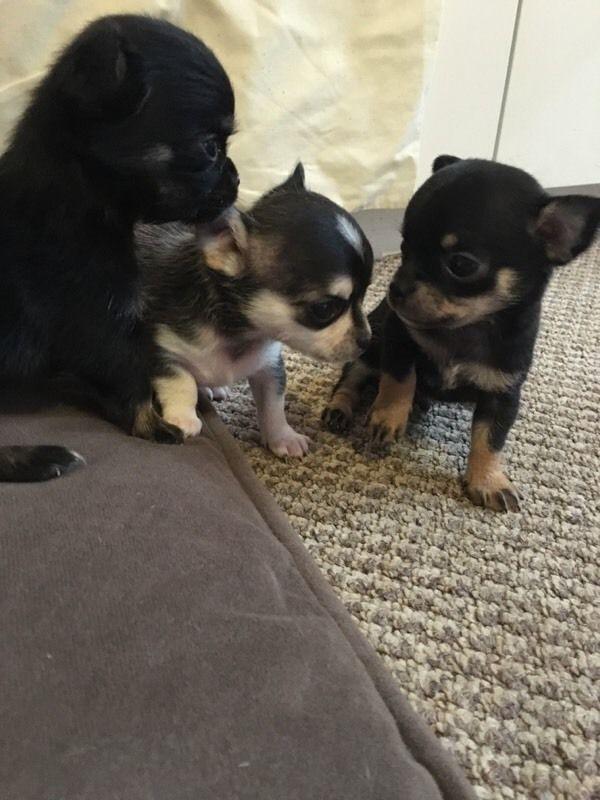 Chihuahua Puppies Neath Port Talbot Gumtree Chihuahua