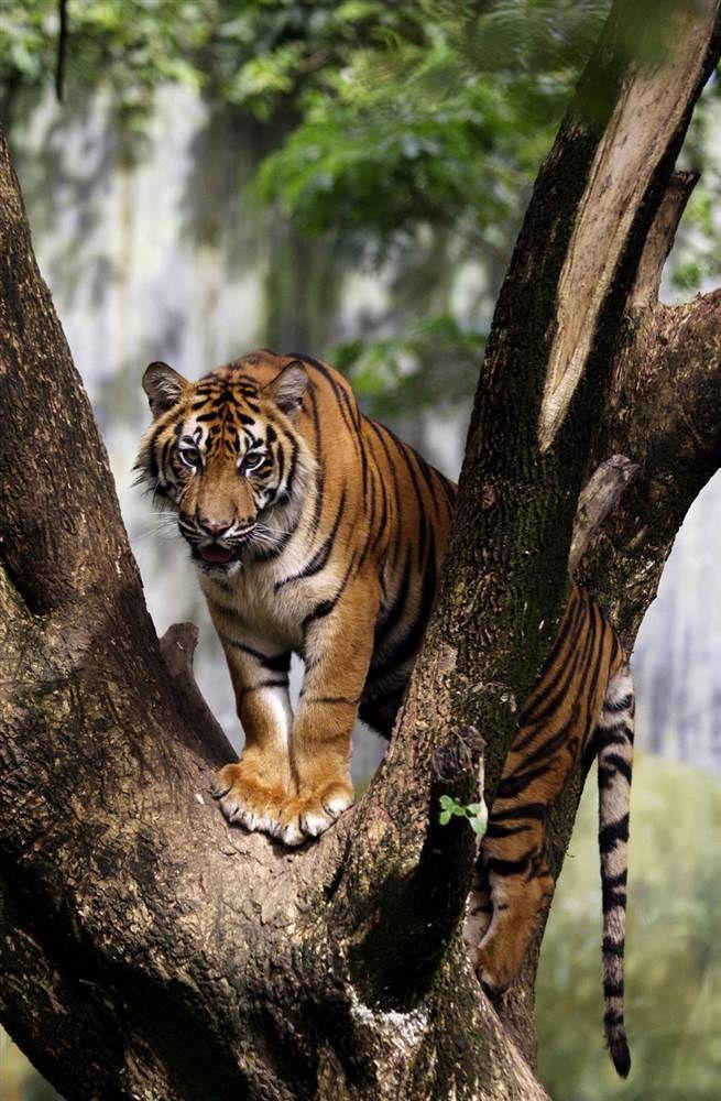 """Sumatran Tiger"" by Binsar Bakkara/AP Дикие животные"