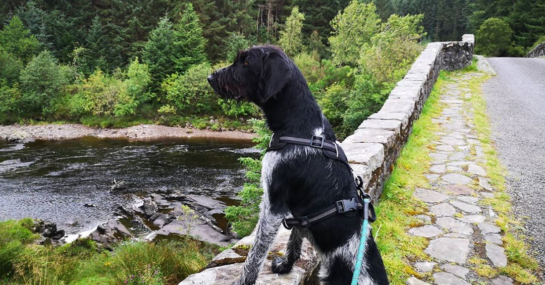 Looking out over my kingdom 😜  #onmeholidays #scotland #exploring #gwp #germanwirehairedpointer #germanwirehairedpointerpuppy #puppy #pupper #puppiesofinstagram #pointeroftheday #gwpoftheday #wirehairedpointer #pointer#instapup #doggo #cute#adventure #adventuredogoftheday #adventurepup #adventuredog #adventuredogsofinstagram #traildogintraining #trailpuppy #traildog #hiking #hikingadventures #hikingwithdogs