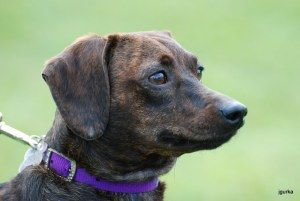 Adopt Nina On Adoptable Dachshund Dog Dogs Hound Dog
