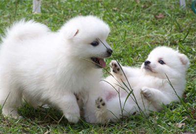 Great Spitz Canine Adorable Dog - 545d8bba81acb1bfc37b059a7bf262c3  2018_109638  .jpg