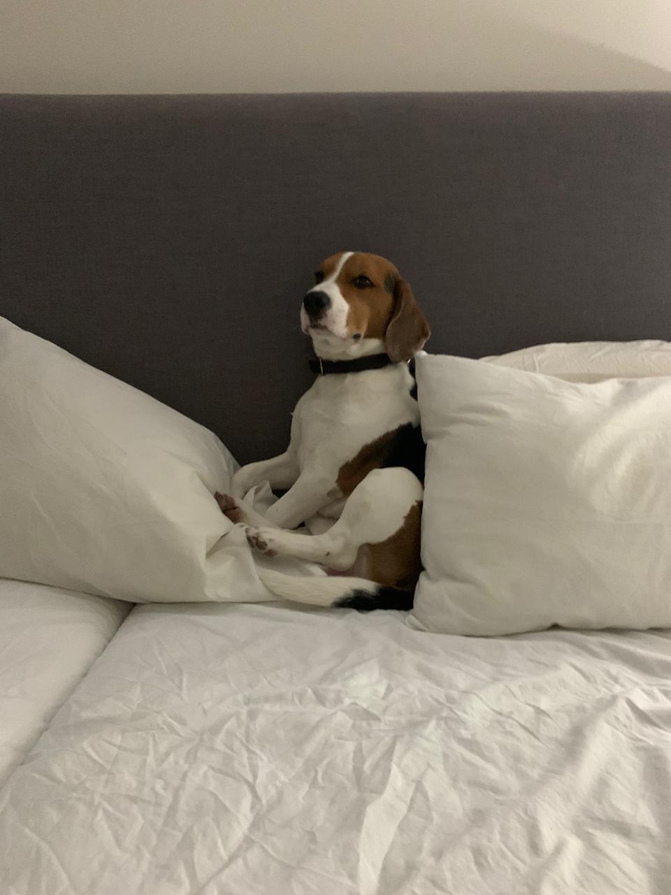 Pin By Lori Greene On My Beagle World Vizsla Puppies Beagle
