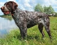 wirehaired pointer - Google Search