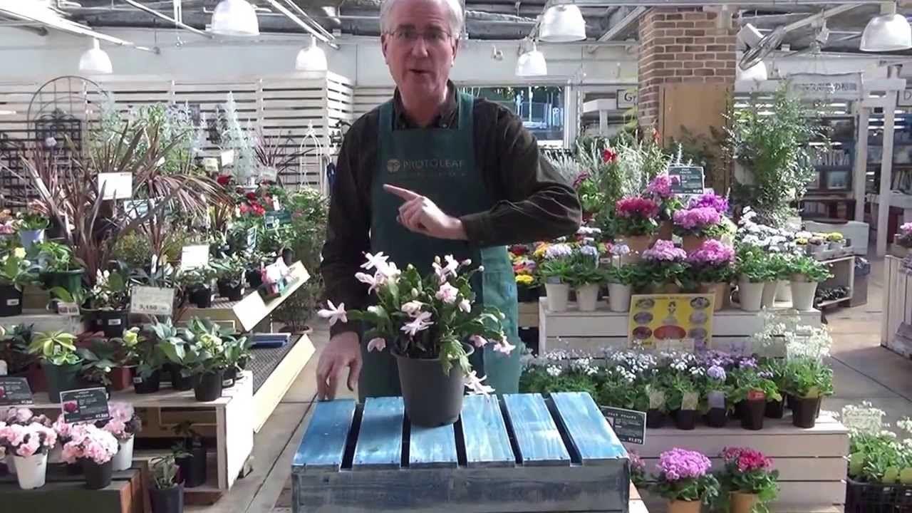How to Grow Christmas Cacti - YouTube