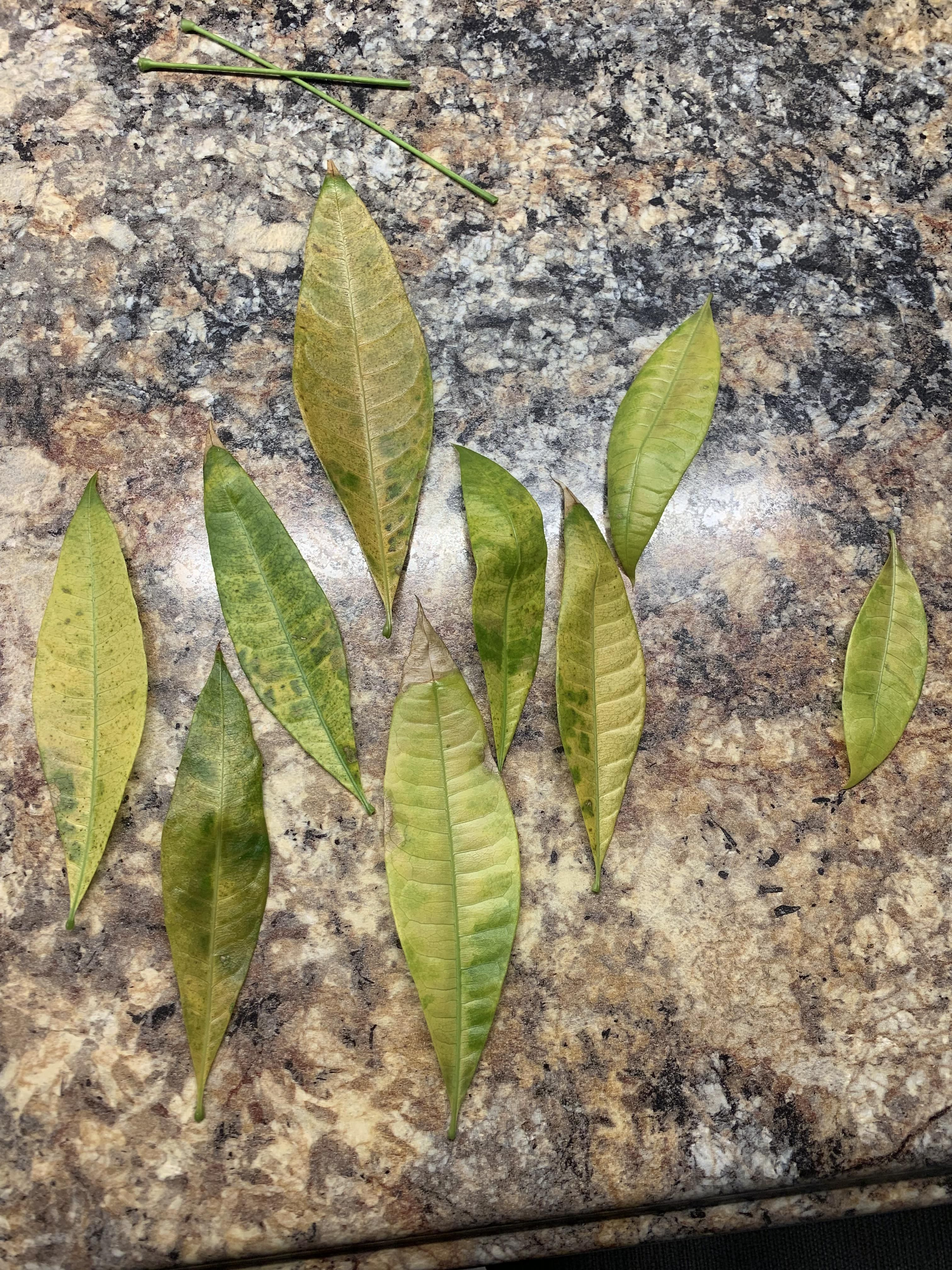 I Need Help I Don T Know What S Wrong With My Money Tree All It S Leaves Are Turning These Colors And Falling Off Ea Money Tree Plant Money Trees Plant Leaves