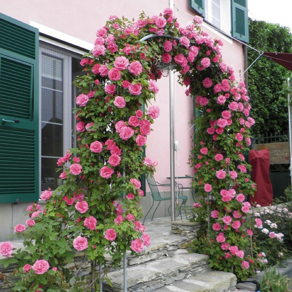Love Garden Roses: Zephirine Drouhin Climbing Rose - Google Search