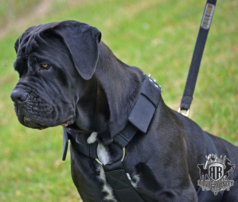 Supatuff Heavy Duty Dog Harness Cane Corso Cane Corso Italian