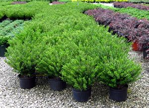 Compacta holly garden tips pinterest plants and gardens for Landscaping plants south carolina
