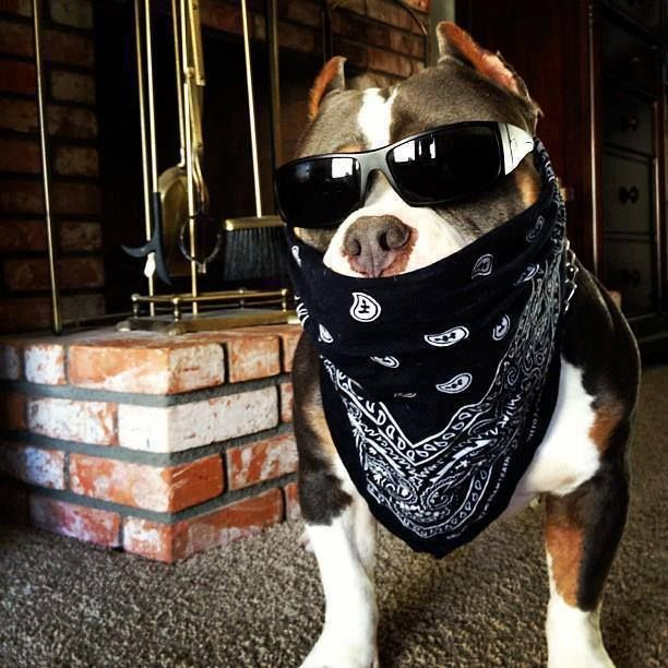 Pittie Thug Pitbull Dog Pictures Pitbulls Bully Dog