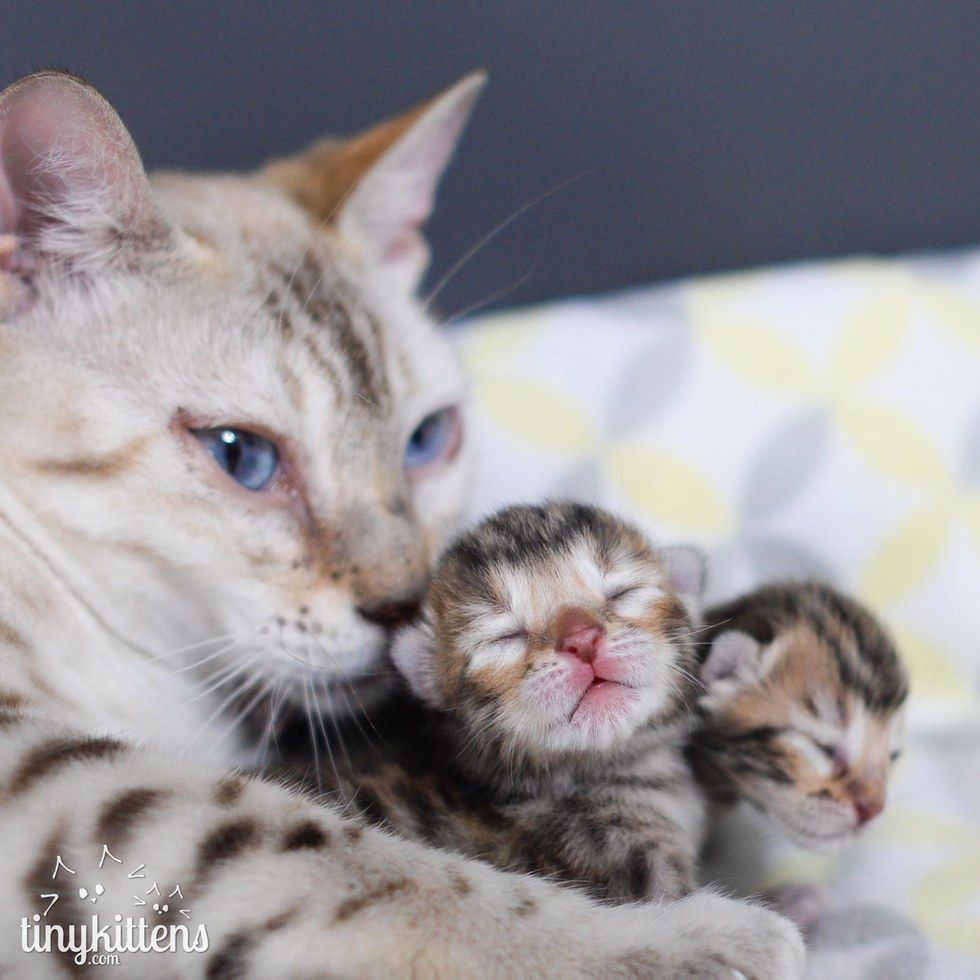 This Cat Had To Keep Giving Up Her Kittens But This Time Around She S Never Letting Them Go Mama Cat Bengal Kitten Cats And Kittens