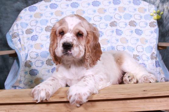 Moxie Cocker Spaniel Puppy For Sale In Millmont Pa Lancaster