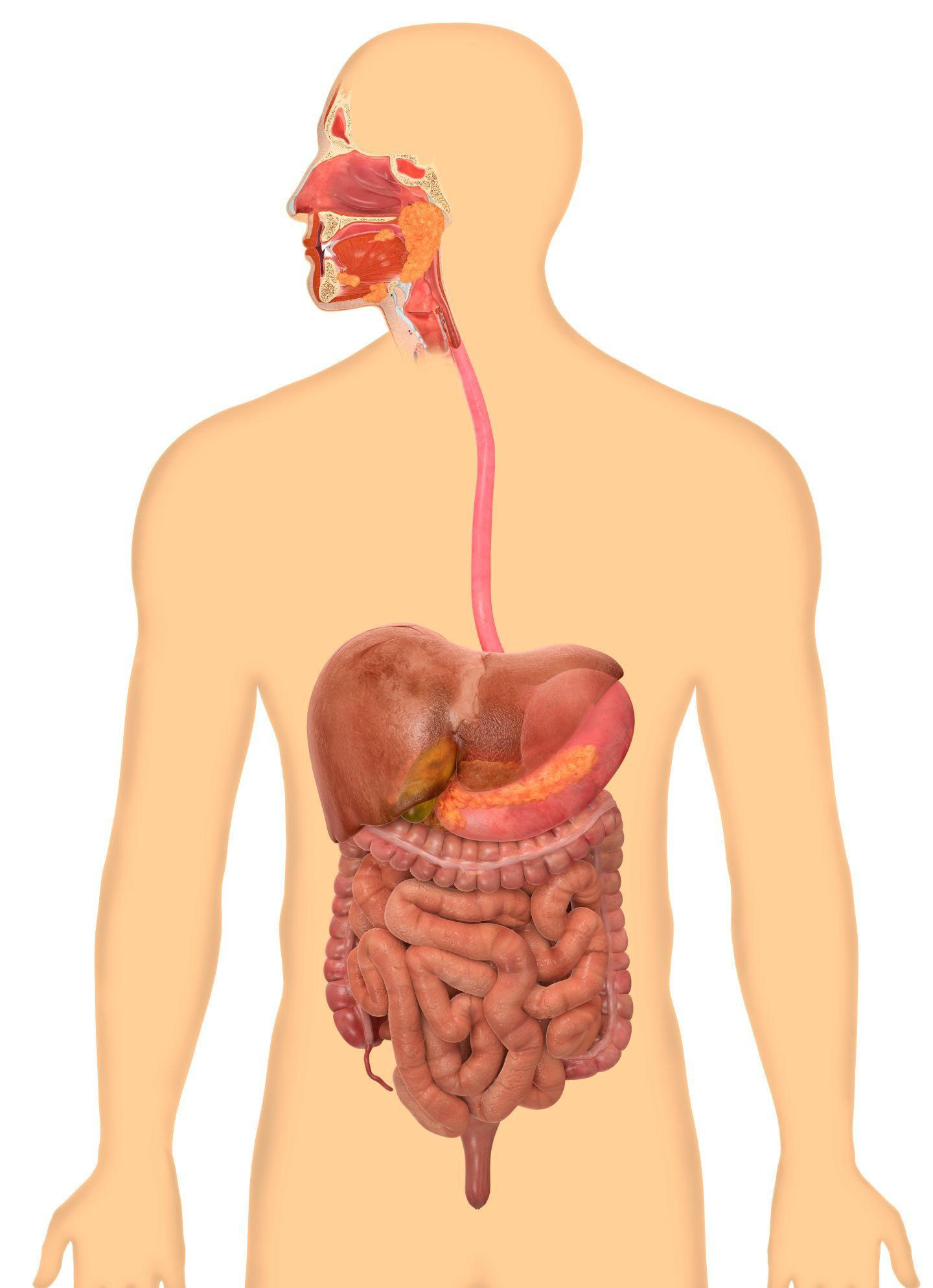 Dk Find Out The Digestive System