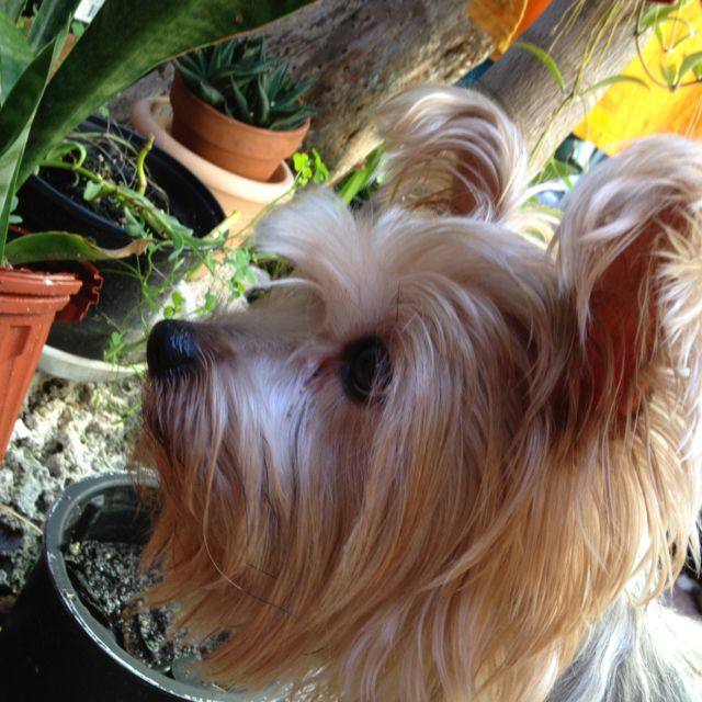 Some Serious Hunting For My Yorkie Rascal He Is Watching A Brown