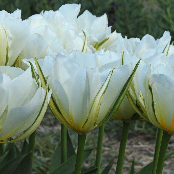 Die Tulpe \'Exotic Emperor\' hat in der Tat etwas Exotisches an sich ...