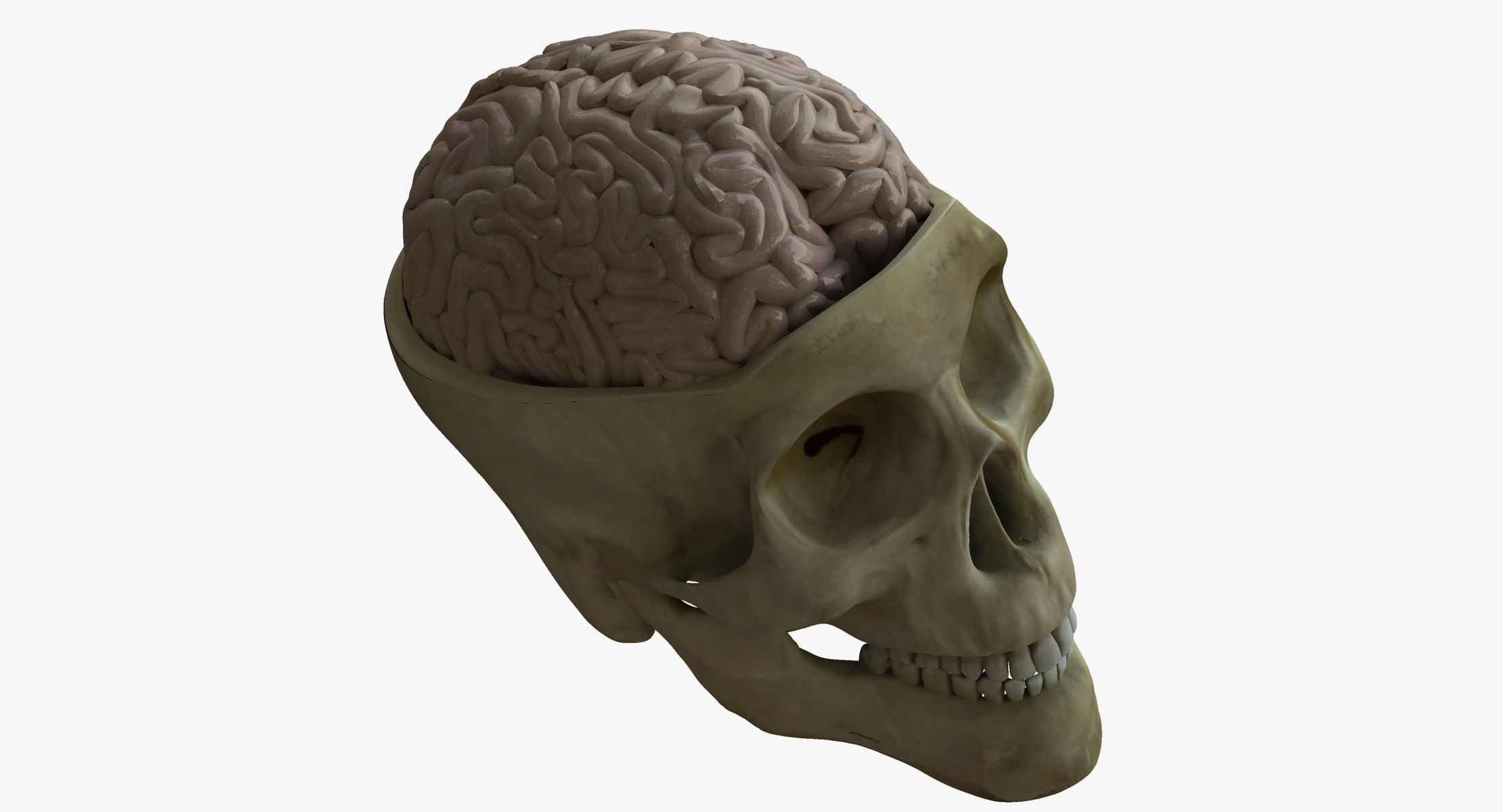 Human Skull with Brain | 3D model | 3D Characters | Pinterest ...