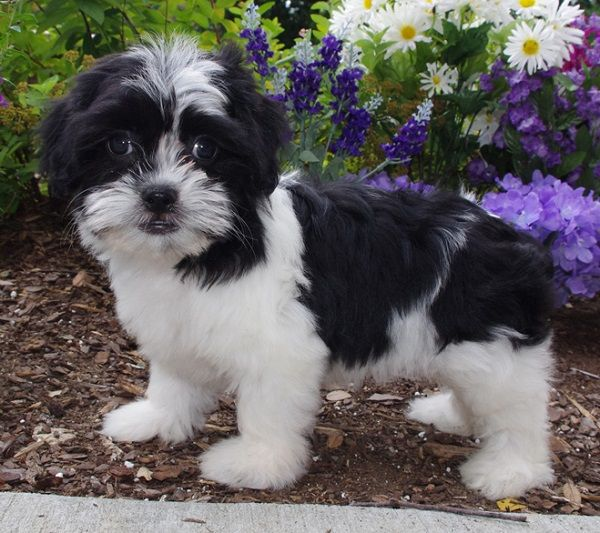 35 Amazing Shih Tzu Cross Breeds Shih Tzu Fluffy Dogs Funny Animal Pictures