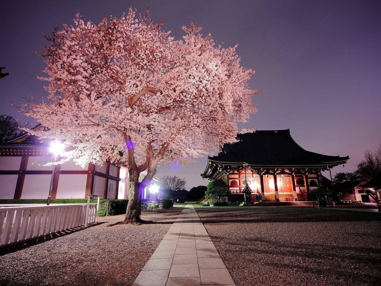 cherry blossom tree nature Japan cherry blossom 720P