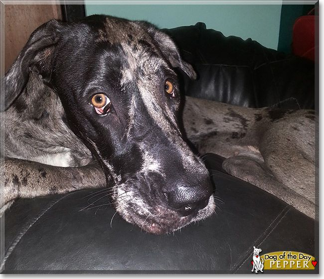 Pepper Viegas The Great Dane From Mumbai India Is Today S Dog Of