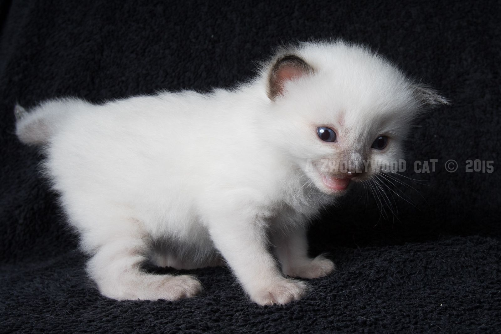 2015 Thor A Zwollywood Cat 3 Weeks Old Ragdoll Kitten Seal Colourpoint Dark World Litter Kittens Cats Cattery Kittens